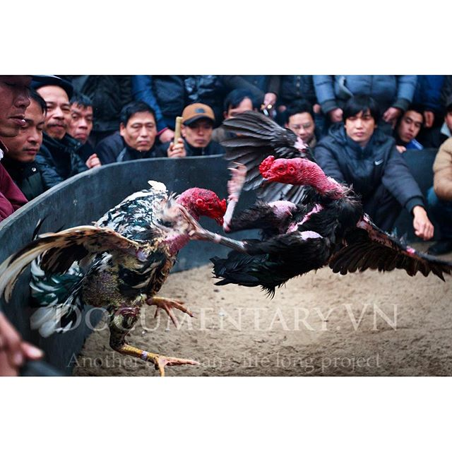[Instagram] #cockfight #roosters #gamble #festival #documentary #life #hanoi #vietnam www.documentary.vn/Life